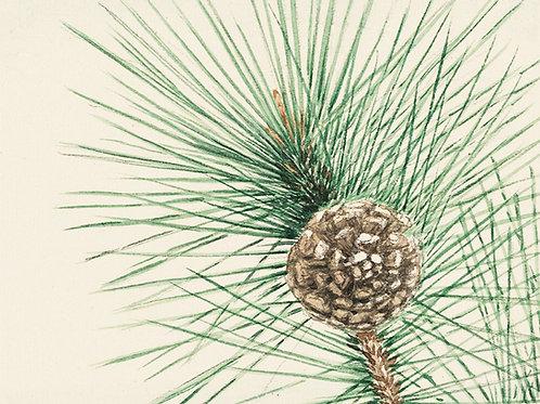 Scots Pine (Pinus sylvestris), dried.