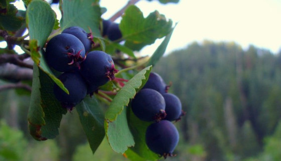 Using Saskatoon Berry to Repair Post-Summer Skin