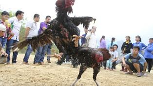 Đá gà online tại ST666 – Nhà cái uy tín Việt Nam