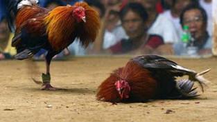 Sự hấp dẫn của đá gà Campuchia và những luật chơi bạn không thể bỏ qua