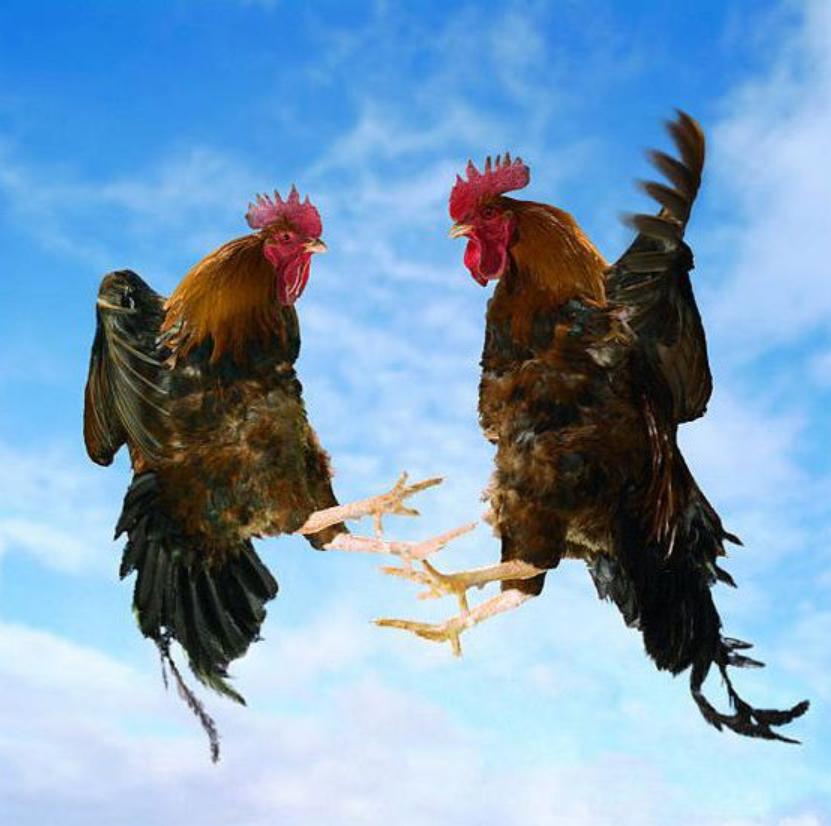 Tập cho gà bay cao