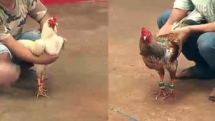 3 điều cần biết về trường đá gà Thomo Campuchia