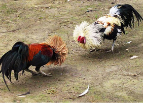 Kỹ thuật nuôi gà đá nhanh để thi đấu đá gà trực tiếp
