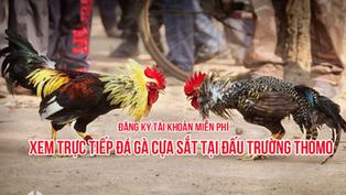 Hướng dẫn chơi đá gà Thomo Campuchia cho người mới từ A – Z