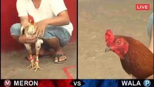 Đá gà Thomo trực tiếp – Cách chọn gà đá hay