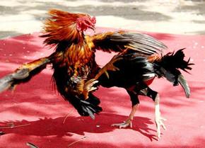 Xem đá gà trực tiếp trong mùa Covid