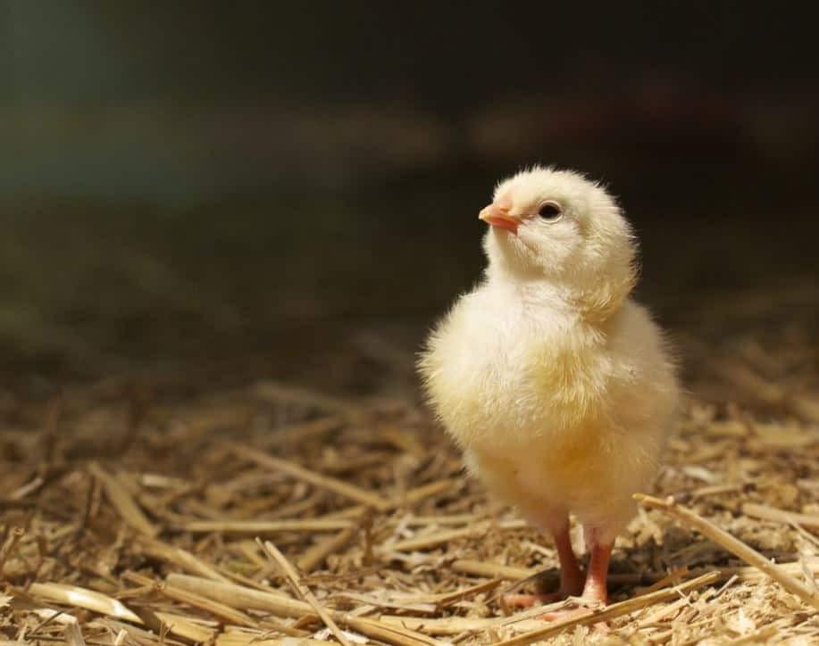 Cách phân loại gà trống gà mái