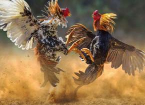 Kinh nghiệm nuôi gà của dân đá gà chuyên nghiệp