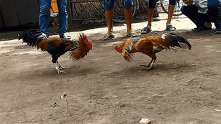 Nhà cái cược đá gà online số 1 Việt Nam năm 2020