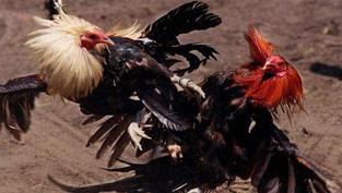 Xem đá gà trực tiếp campuchia hay nhất tại đâu?