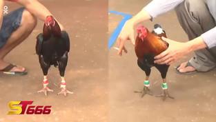 Những video đá gà trực tuyến Campuchia có bình luận