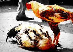 Xem đá gà với những loại gà chọi hay ở Việt Nam