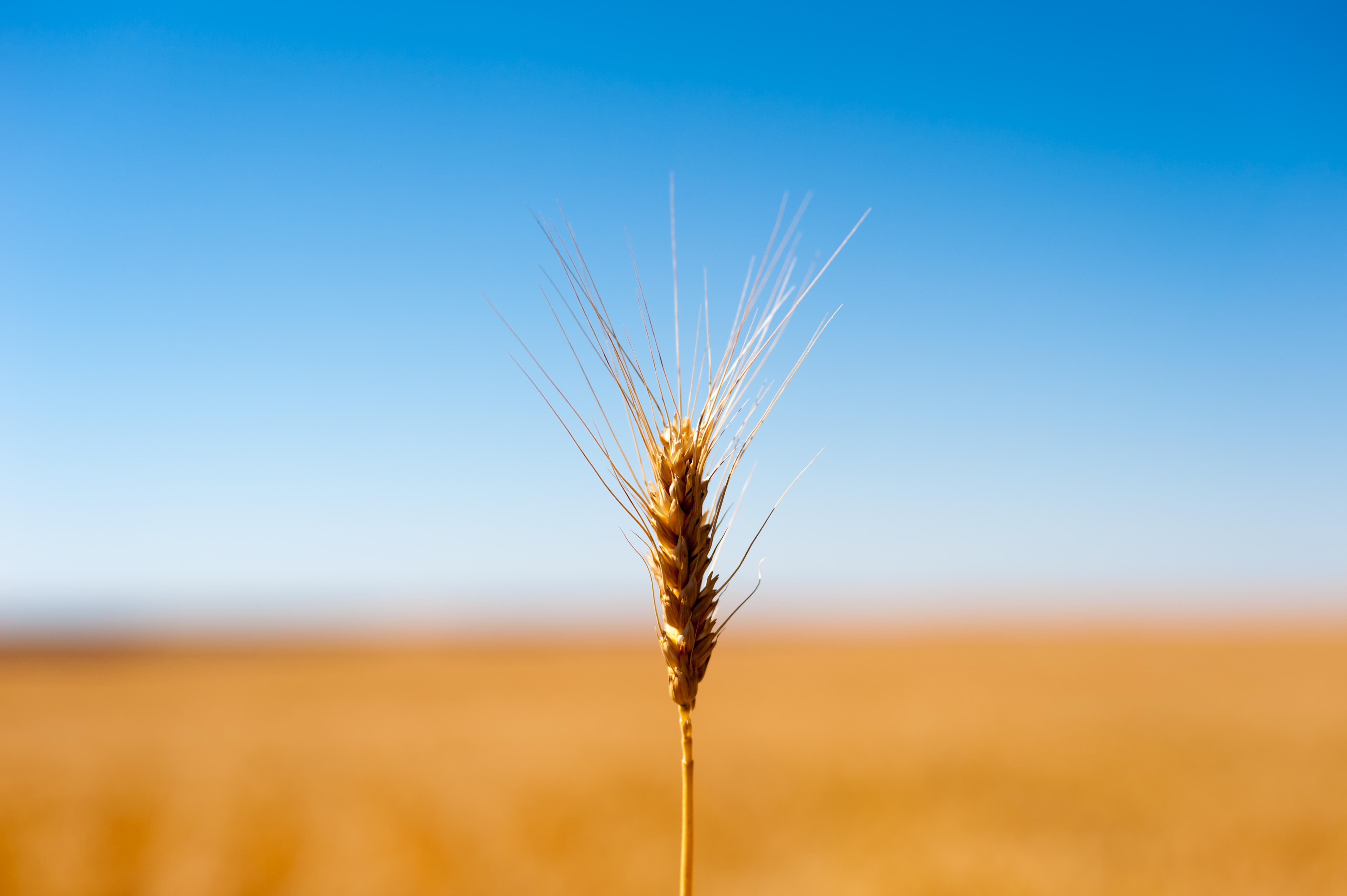 grain of life