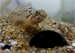 painted goby