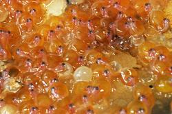 eggs/embryos toadfish