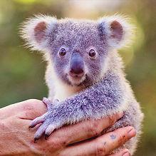 super koala-4.jpg