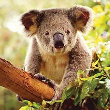super koala-2.jpg
