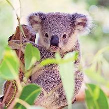 super koala-1.jpg