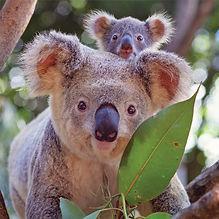 super koala-3.jpg