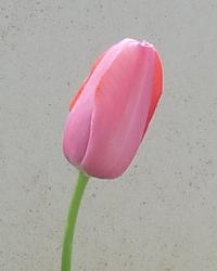 Tulipa Liliaceae_2014.png