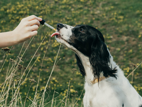 How To Give CBD To Your Dog.