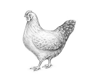 15-drawing-hen-completing.jpg