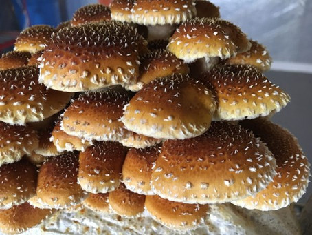All About Chestnut Mushrooms