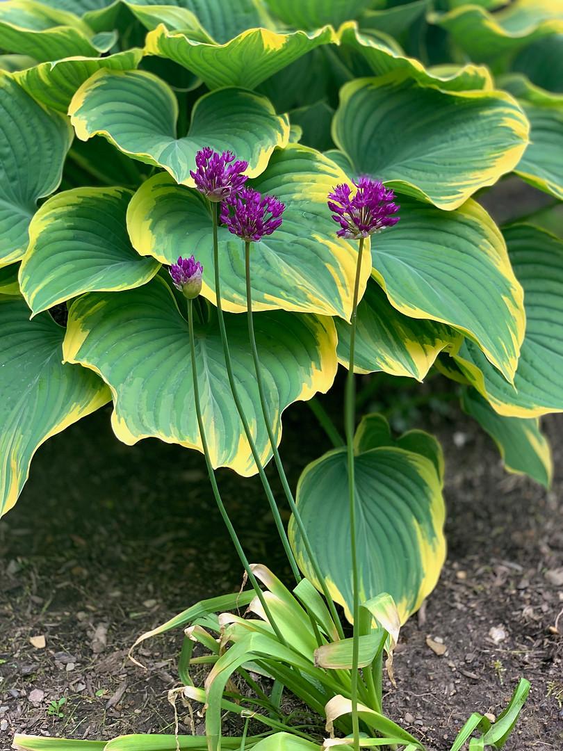 Purple Flowers and Hosta