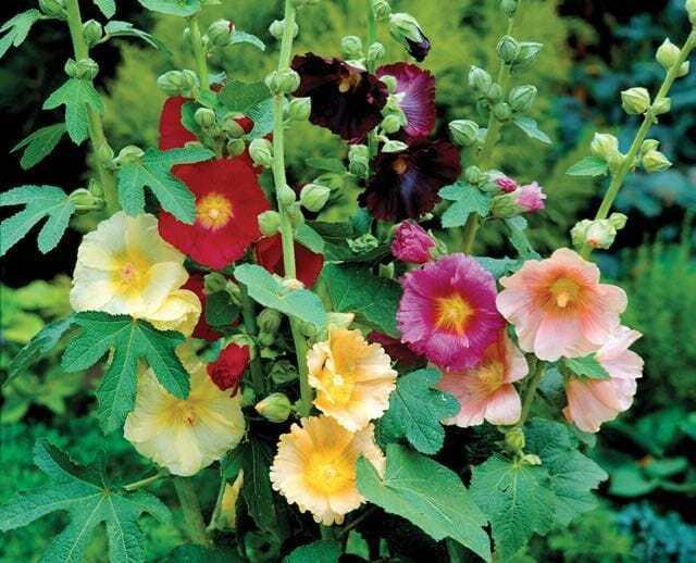 Colorful Hollyhocks