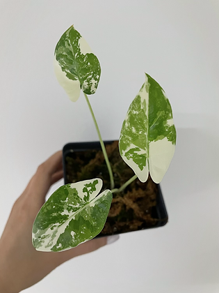 V. Macrorrhiza