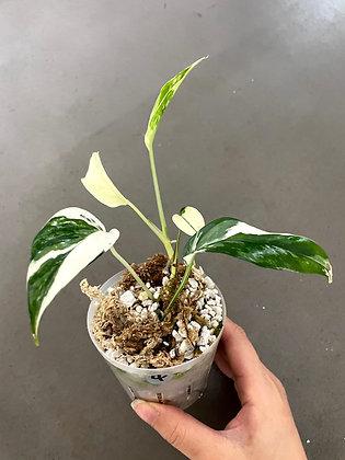 Epipremnum Pinnatum Albo-4