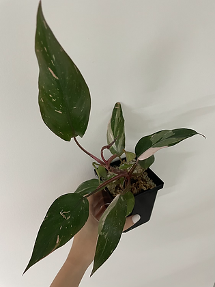 Pink Princess philodendron 3