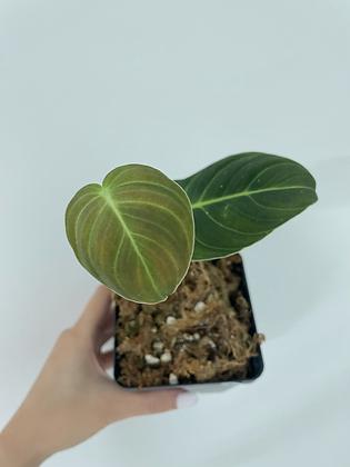 Melanochrysum 1