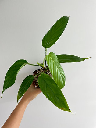 Philodendron Genevievianum
