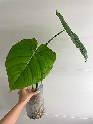 Philodendron 'Dean McDowell'