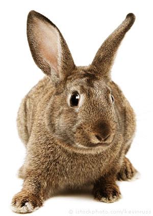 rabbit_000000659930Small