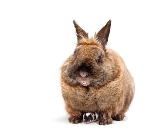 konijnmuis