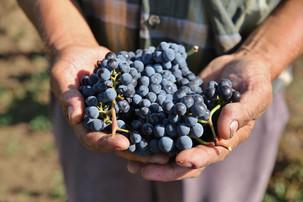 Soiurile locale de struguri, readuse in atentia consumatorilor de catre viticultori