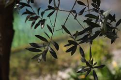 Olivetreeandpool