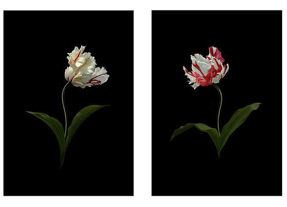 Tulips Perroquet 1 & 2