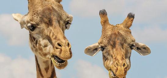 giraffe at African Lion Safari