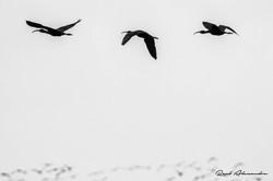 Ibis Preta