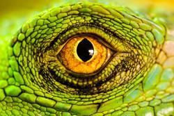 Iguanas Eye