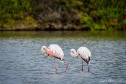 Sincronização à Flamingo