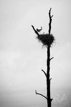 Cegonha Branca