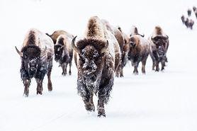 bison-2237654.jpg