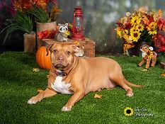 pet fall photoshoot, pets photos in portrait studio on site photography buckeye, az, pet f