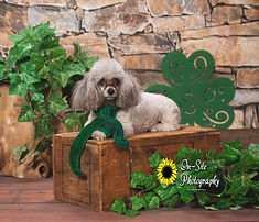 st patricks day pet photos pet photograp