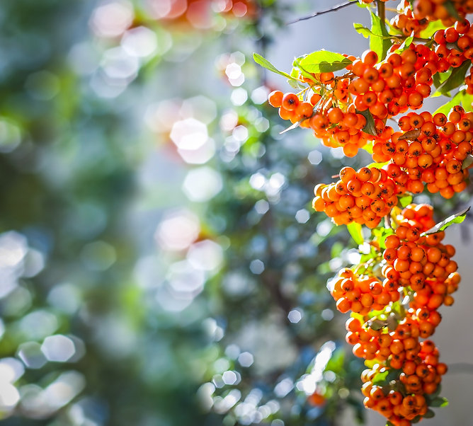 Sea buckthorn is good for health