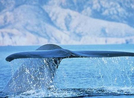 ¡Que sí, que sí que hay ballenas aquí!
